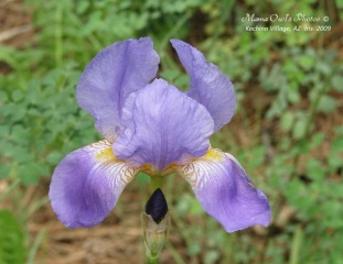 Iris (2009)