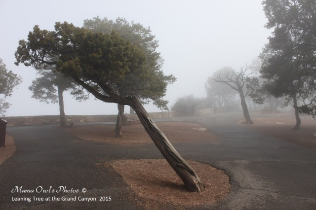 Leaning Tree at a foggy Grand Canyon in the spring of 2015